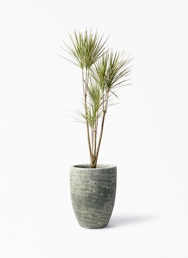 観葉植物 コンシンネ ホワイポリー 8号 ストレート アビスソニア トール 緑 付き