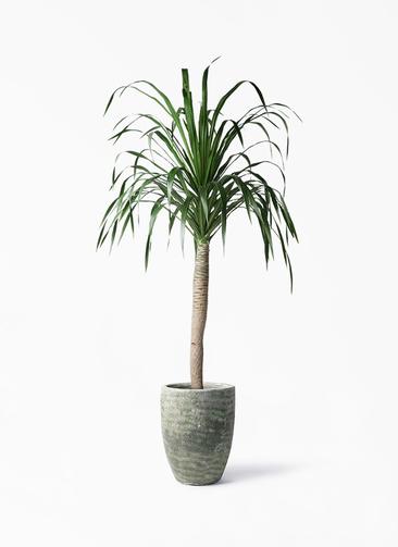 観葉植物 ドラセナ ドラコ 8号 アビスソニア トール 緑 付き