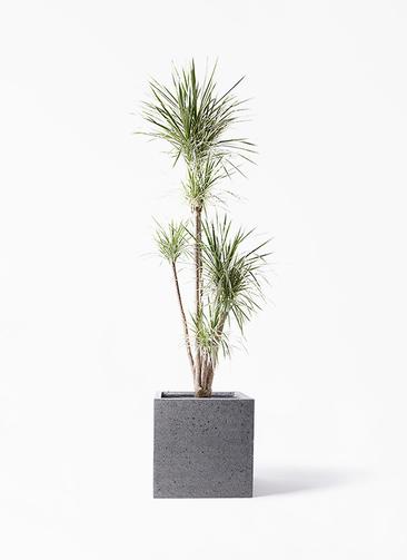 観葉植物 コンシンネ ホワイポリー 10号 ストレート キューブ ラテルストーン 付き