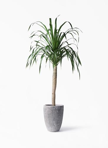 観葉植物 ドラセナ ドラコ 8号 アビスソニア トール 灰 付き