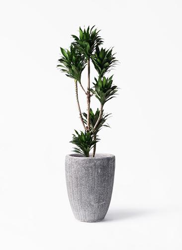 観葉植物 ドラセナ コンパクター 8号 アビスソニア トール 灰 付き