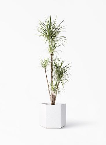 観葉植物 コンシンネ ホワイポリー 10号 ストレート コーテス ヘックス ホワイトテラゾ 付き