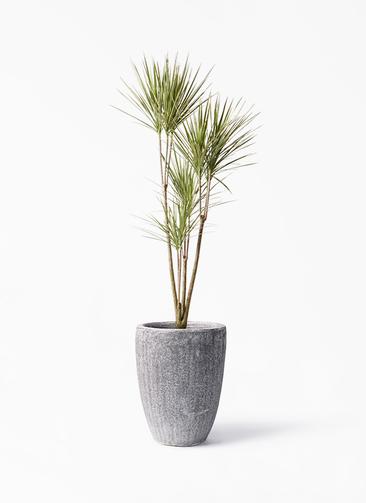 観葉植物 コンシンネ ホワイポリー 8号 ストレート アビスソニア トール 灰 付き