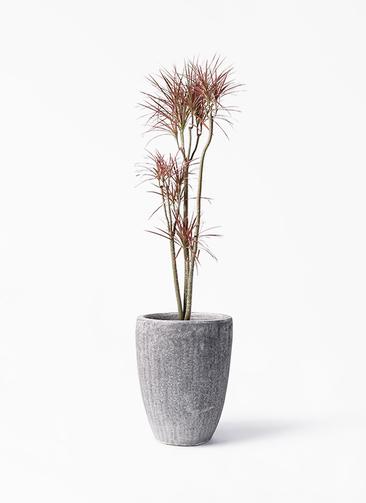 観葉植物 ドラセナ コンシンネ レインボー 8号 ストレート アビスソニア トール 灰 付き