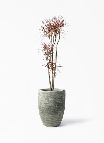 観葉植物 ドラセナ コンシンネ レインボー 8号 ストレート アビスソニア トール 緑 付き
