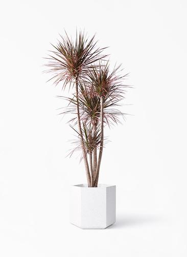 観葉植物 ドラセナ コンシンネ 10号 ストレート コーテス ヘックス ホワイトテラゾ 付き