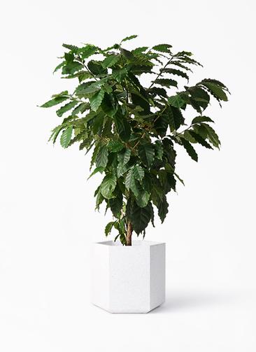 観葉植物 コーヒーの木 10号 コーテス ヘックス ホワイトテラゾ 付き