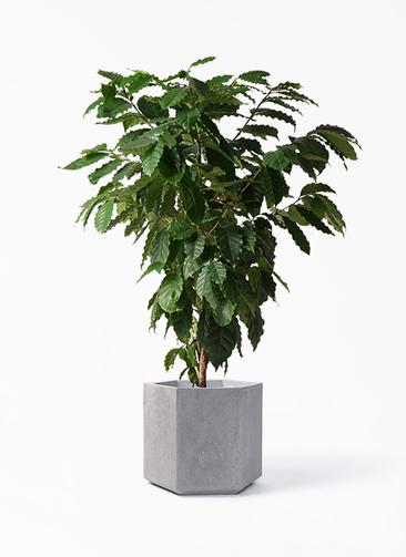 観葉植物 コーヒーの木 10号 コーテス ヘックス 灰 付き