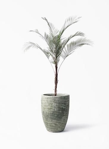 観葉植物 ヒメココス 8号 アビスソニア トール 緑 付き