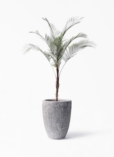観葉植物 ヒメココス 8号 アビスソニア トール 灰 付き