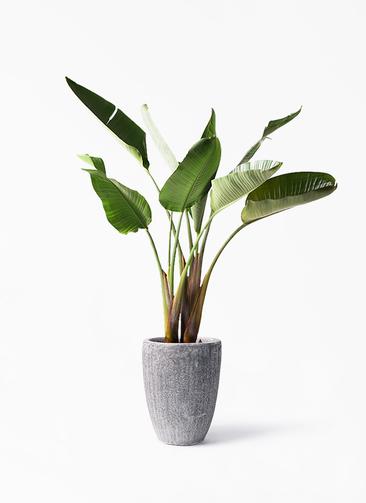 観葉植物 オーガスタ 8号 アビスソニア トール 灰 付き