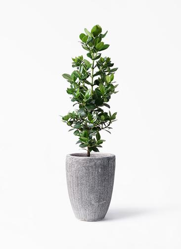 観葉植物 クルシア ロゼア プリンセス 8号 アビスソニア トール 灰 付き