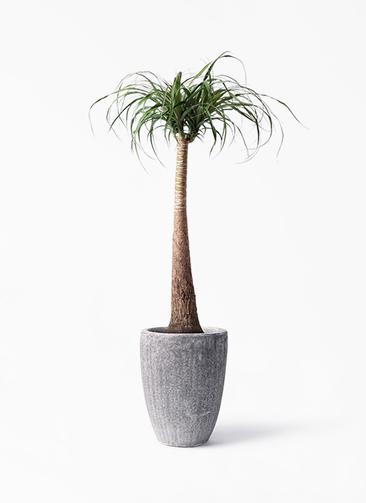 観葉植物 トックリラン 8号 アビスソニア トール 灰 付き