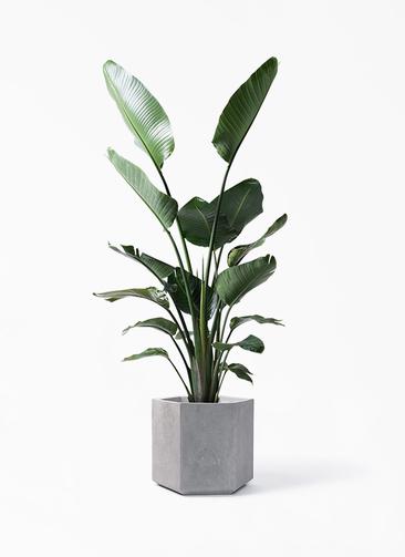 観葉植物 オーガスタ 10号 コーテス ヘックス 灰 付き