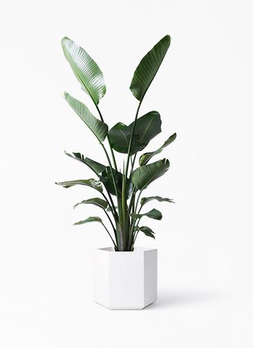 観葉植物 オーガスタ 10号 コーテス ヘックス ホワイトテラゾ 付き