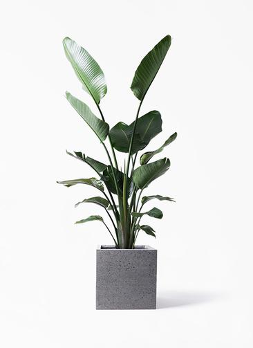 観葉植物 オーガスタ 10号 キューブ ラテルストーン 付き