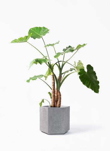 観葉植物 クワズイモ 10号 コーテス ヘックス 灰 付き