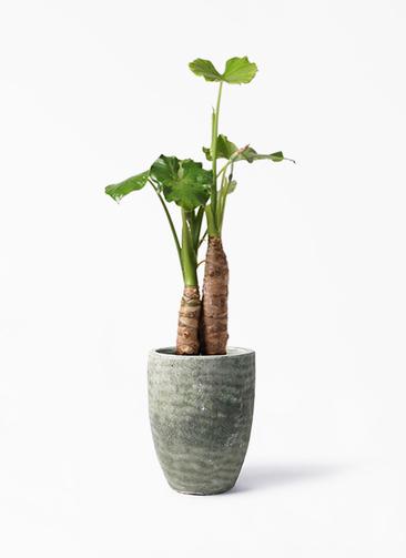 観葉植物 クワズイモ 8号 アビスソニア トール 緑 付き