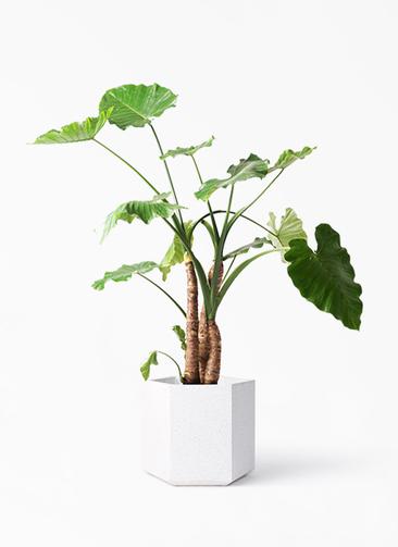 観葉植物 クワズイモ 10号 コーテス ヘックス ホワイトテラゾ 付き