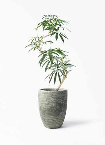 観葉植物 シェフレラ アンガスティフォリア 8号 曲り アビスソニア トール 緑 付き