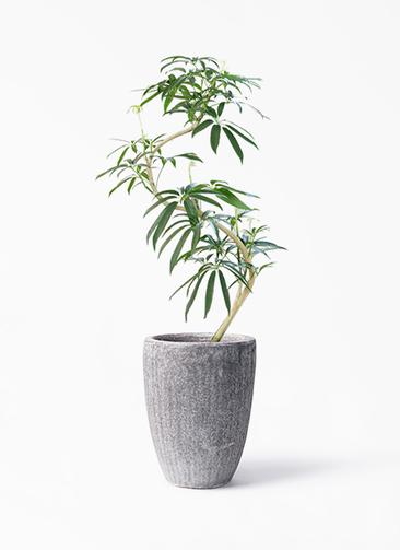 観葉植物 シェフレラ アンガスティフォリア 8号 曲り アビスソニア トール 灰 付き