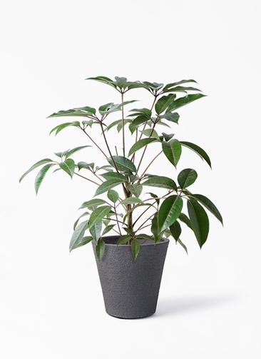 観葉植物 ツピダンサス 8号 ボサ造り ビアスソリッド ブラック 付き