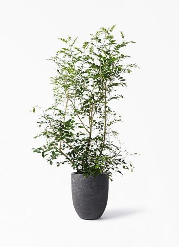 観葉植物 シルクジャスミン(げっきつ) 8号 ビアスアルトエッグ ブラック 付き