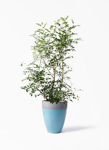 観葉植物 シルクジャスミン(げっきつ) 8号 ファイバーストーンカプリ 青 付き