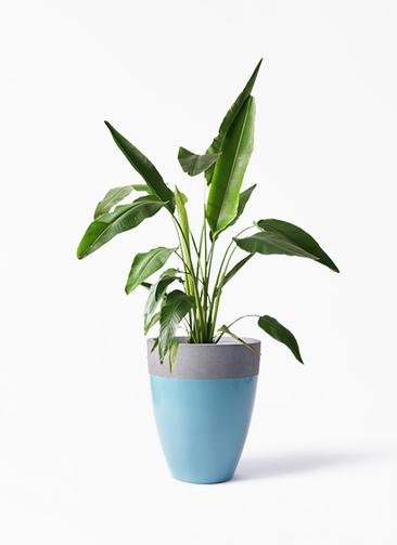 観葉植物 旅人の木 8号 ファイバーストーンカプリ 青 付き