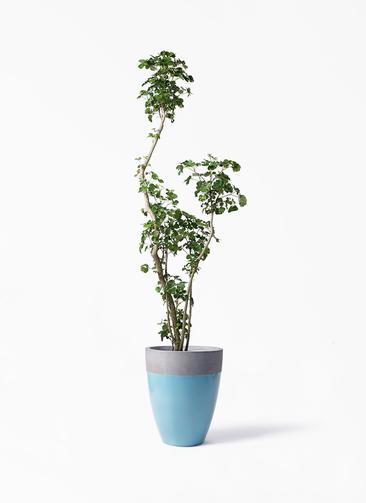 観葉植物 ポリシャス 8号 ファイバーストーンカプリ 青 付き