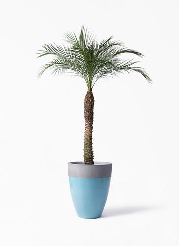 観葉植物 フェニックスロベレニー 8号 ファイバーストーンカプリ 青 付き