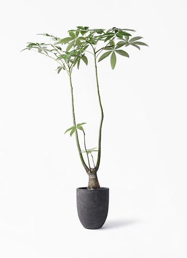 観葉植物 パキラ 8号 パラソル ビアスアルトエッグ ブラック 付き