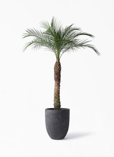 観葉植物 フェニックスロベレニー 8号 ビアスアルトエッグ ブラック 付き