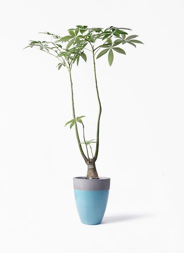 観葉植物 パキラ 8号 パラソル ファイバーストーンカプリ 青 付き