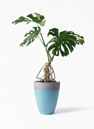 観葉植物 モンステラ 8号 根上り ファイバーストーンカプリ 青 付き