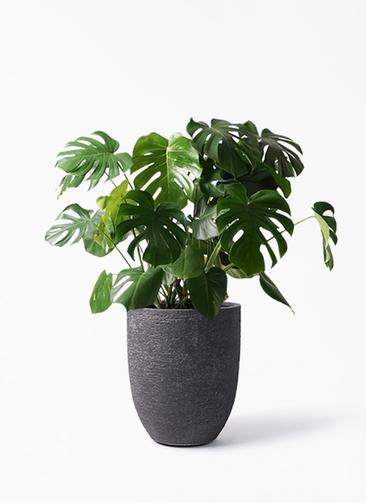 観葉植物 モンステラ 8号 ボサ造り ビアスアルトエッグ ブラック 付き