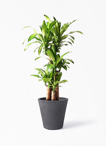 観葉植物 ドラセナ 幸福の木 8号 ノーマル ビアスソリッド ブラック 付き