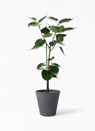 観葉植物 インドボダイジュ 8号 ビアスソリッド ブラック 付き