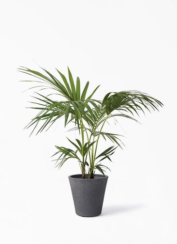 観葉植物 ケンチャヤシ 8号 ビアスソリッド ブラック 付き