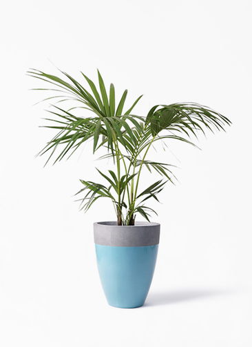 観葉植物 ケンチャヤシ 8号 ファイバーストーンカプリ 青 付き