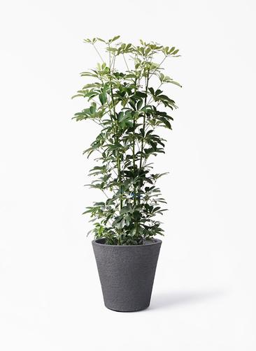 観葉植物 カポック(シェフレラ) 8号 ノーマル ビアスソリッド ブラック 付き