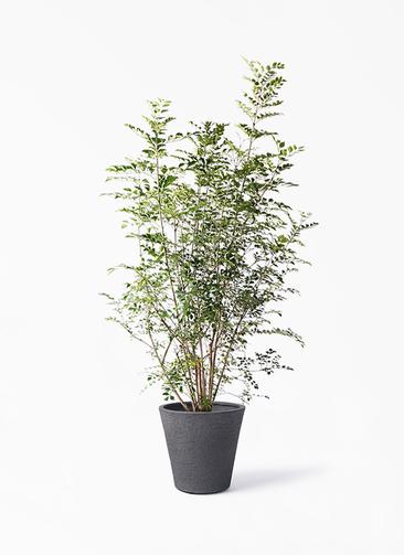 観葉植物 シマトネリコ 8号 ビアスソリッド ブラック 付き