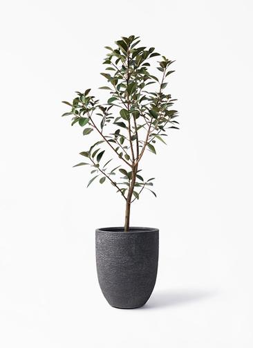 観葉植物 フランスゴムの木 8号 ノーマル ビアスアルトエッグ ブラック 付き