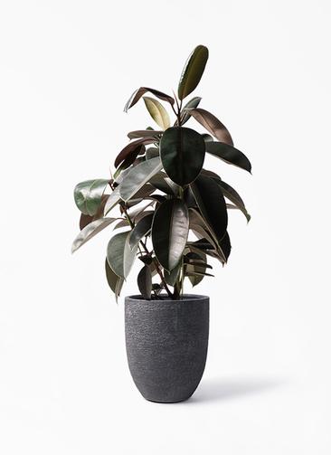 観葉植物 フィカス バーガンディ 8号 ノーマル ビアスアルトエッグ ブラック 付き
