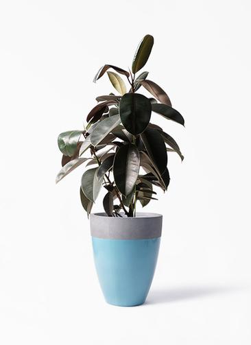 観葉植物 フィカス バーガンディ 8号 ノーマル ファイバーストーンカプリ 青 付き