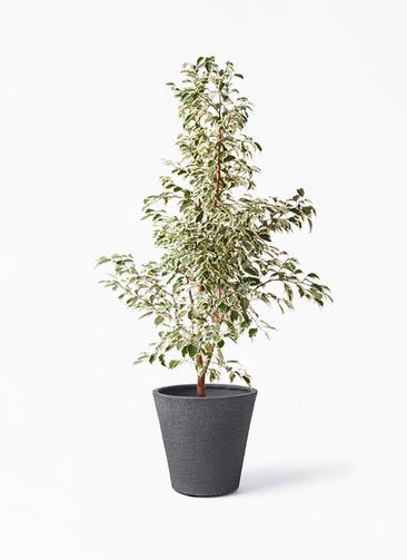 観葉植物 フィカス ベンジャミン 8号 スターライト ビアスソリッド ブラック 付き
