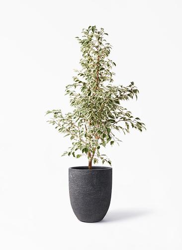 観葉植物 フィカス ベンジャミン 8号 スターライト ビアスアルトエッグ ブラック 付き