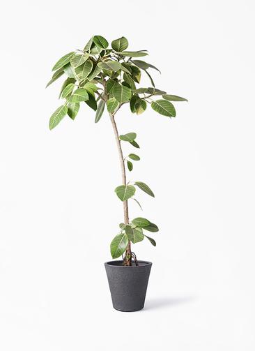 観葉植物 フィカス アルテシーマ 8号 ストレート ビアスソリッド ブラック 付き