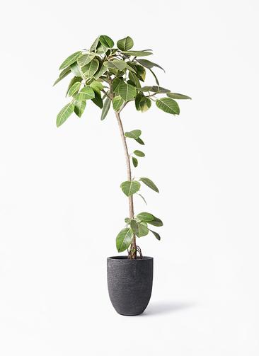 観葉植物 フィカス アルテシーマ 8号 ストレート ビアスアルトエッグ ブラック 付き