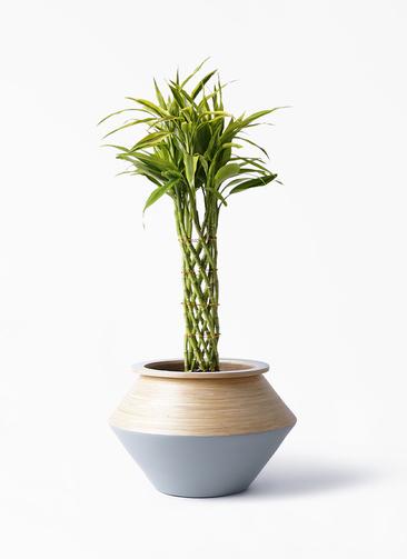 観葉植物 ドラセナ ミリオンバンブー(幸運の竹) 7号 アルマジャー グレー 付き
